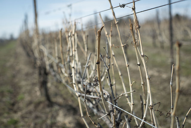 Image of vineyard branches in winter close up.