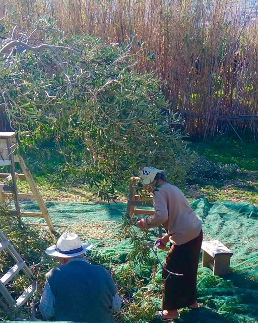 Picture of old people pruning and picking olives. Guests learn how to prune and pick olives during their olive picking holidays in Syros.